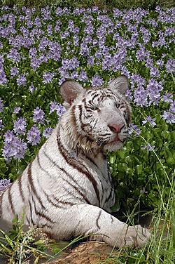 White tiger in flower meadow