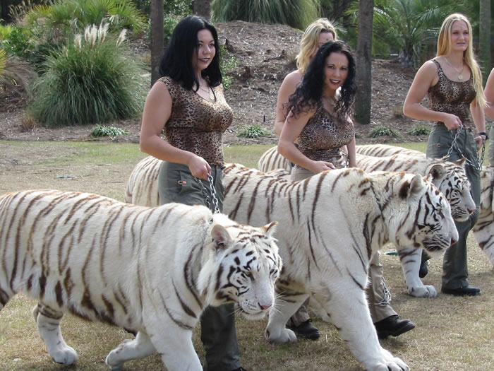 therefore two white tigers mated together produce only white cubs.